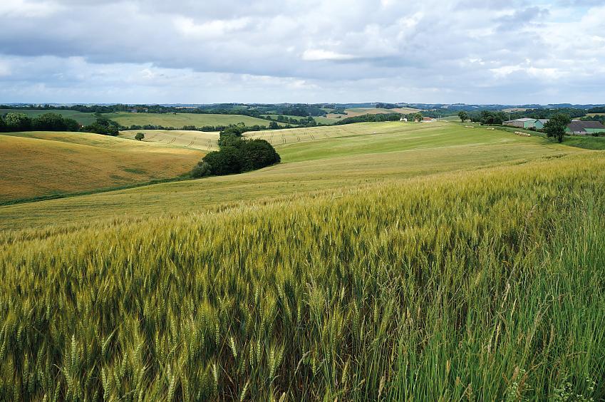 Wheat field in Lupiac