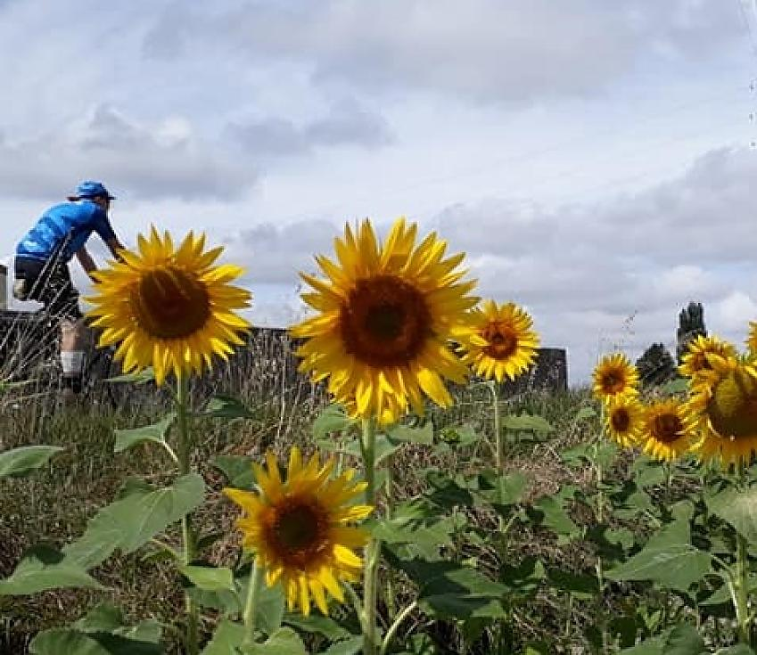 Riders in the sunflowers on the Sem Fed