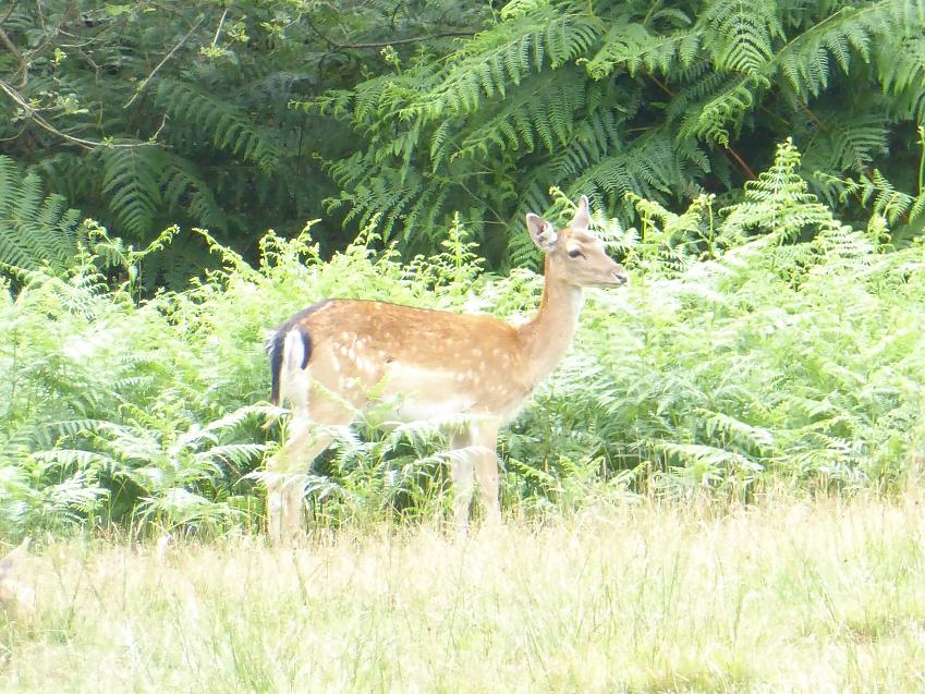 A New Forest fawn by Marie Cook